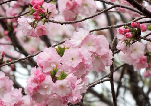 神通川さくら堤・塩の千本桜