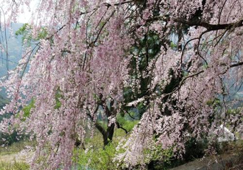 鎌倉八幡宮の大桜