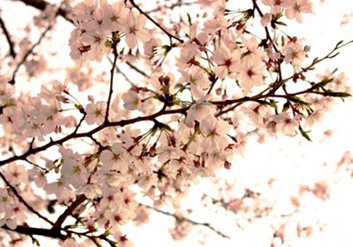 浄蓮寺・念興寺の桜