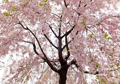 明日の大桜