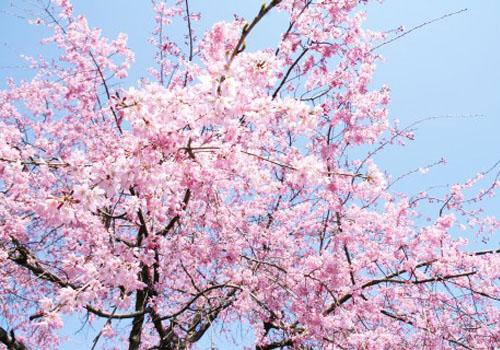 百年桜(旧三日市小学校)