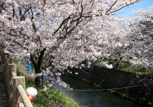 岸渡川桜並木