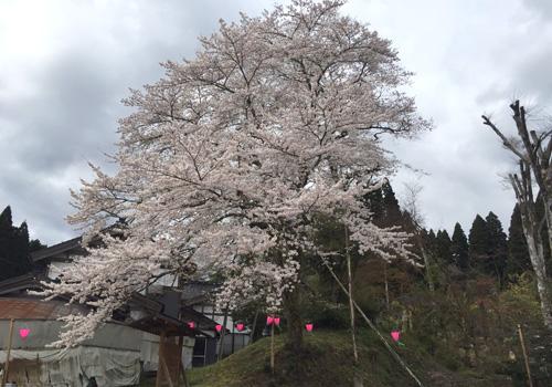 駒つなぎ桜