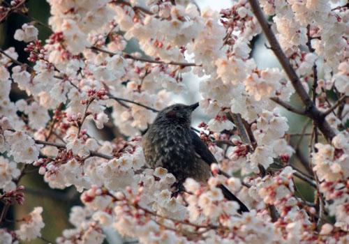 余川古寺の桜