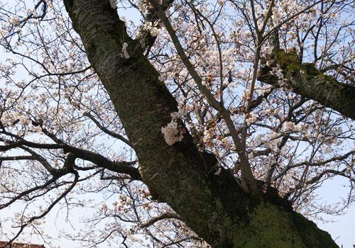 浄教寺てまり桜
